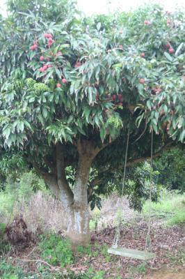 ライチの木のブランコ。いいでしょ?