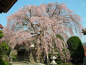 金秀寺の桜