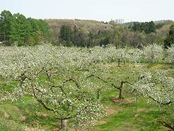 一面のりんごの花