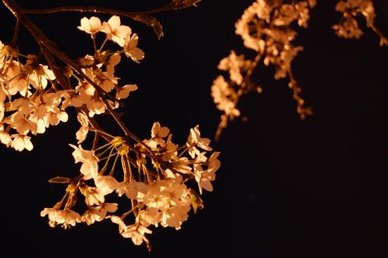 03桜アップ