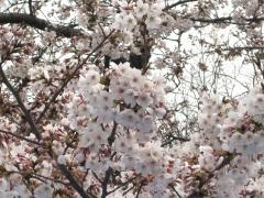 ueno_sakura1.jpg