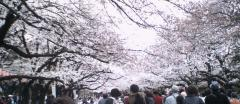 ueno_sakura3.jpg