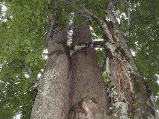 s05合体の樹2