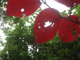 s11ムシカリの葉3