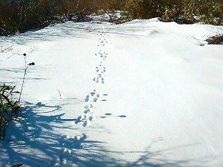 うさぎのペア足跡