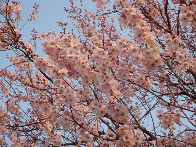 m公園の桜1