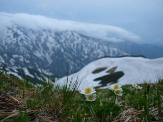 s11mハクサンイチゲと大日岳2