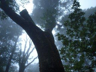 s01ブナの巨木3