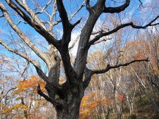 s03立派な木1