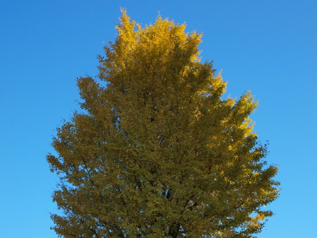 s黄葉と青空6