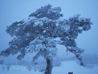 s01スキー場の立派な木3
