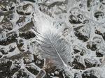 07/03/28 レンジャクの羽毛