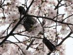 2007/04/18 ヒヨドリ