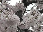08/04/11 ヒヨドリ