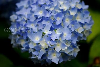 09-06-20  紫陽花 018