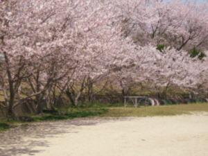 小学桜1.jpg
