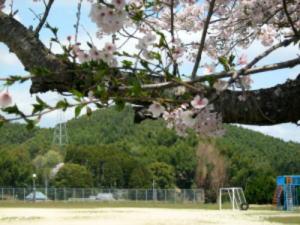 小学桜3.jpg