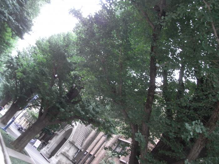 」いちょう並木