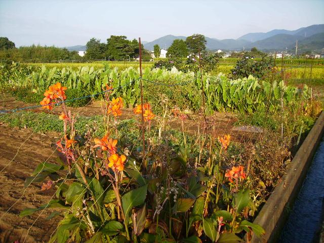 カンナと野菜畑18