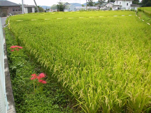 彼岸花と稲田14