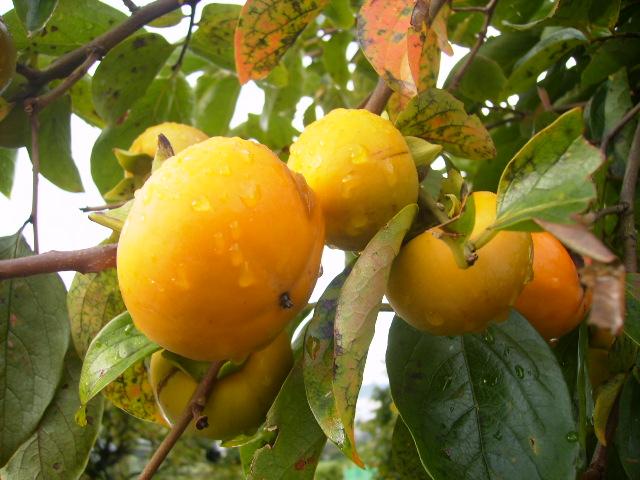 柿の実10