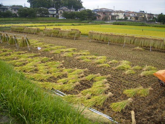 稲刈り済20