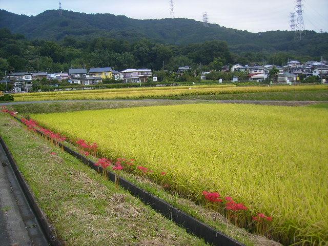 彼岸花と稲田13