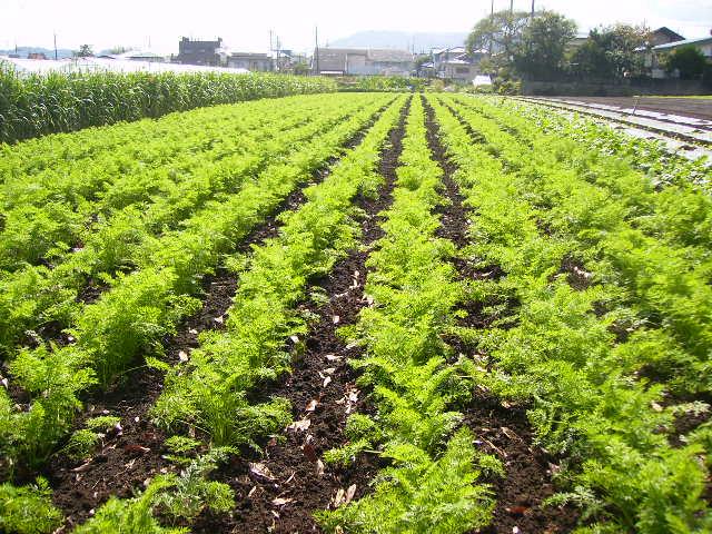 にんじん畑23