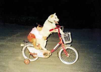 白柴犬が自転車運転:後に幼児がしがみつく