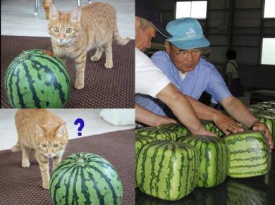 猫の食べたいスイカが?あら?完全無修正写真画像