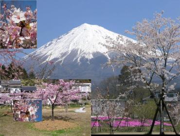静岡で桜の植樹祭完全修正写真画像