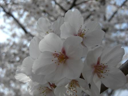 花見2008 006
