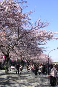 隅田川の桜 花見