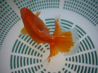 土佐錦魚 映像 024