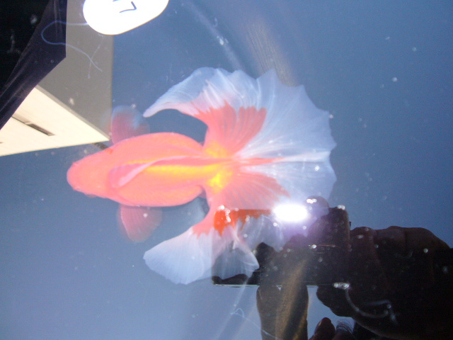 土佐錦魚 映像 163
