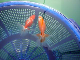 土佐錦魚 映像 no2 355