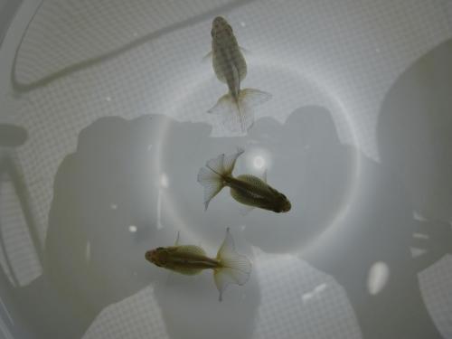 稚魚 6-22