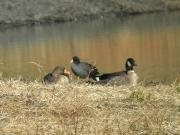 Geese0812