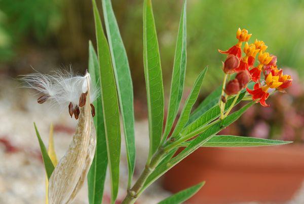アスクレピアスと種