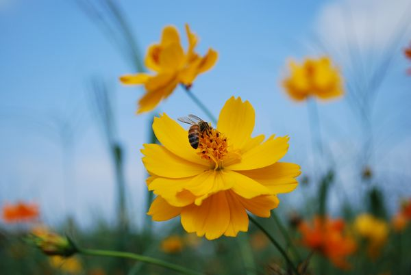 Bee & orange cosmos