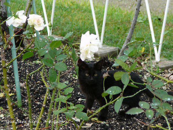 黒猫とバラ