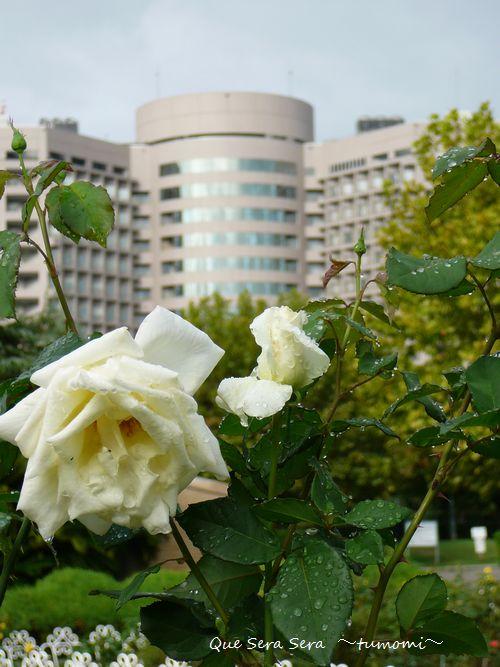 病院と白バラ