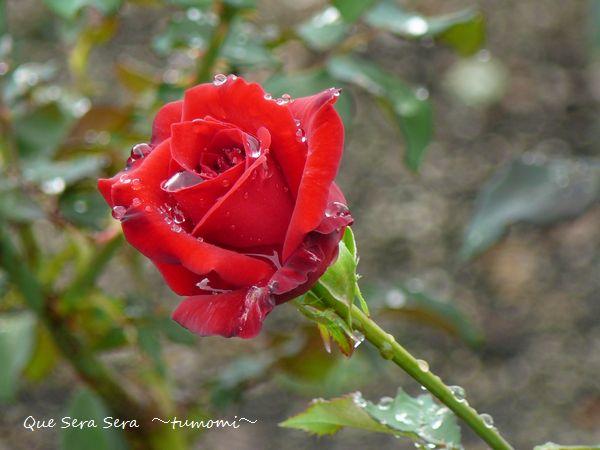 雨あがりの赤バラ