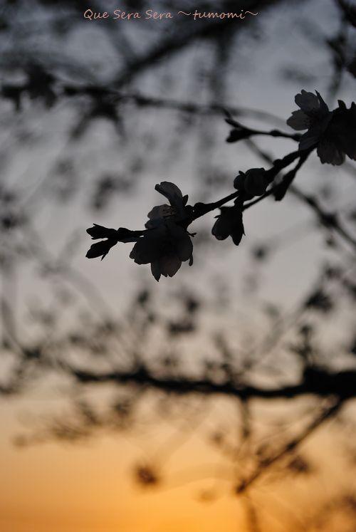 シルエット桜