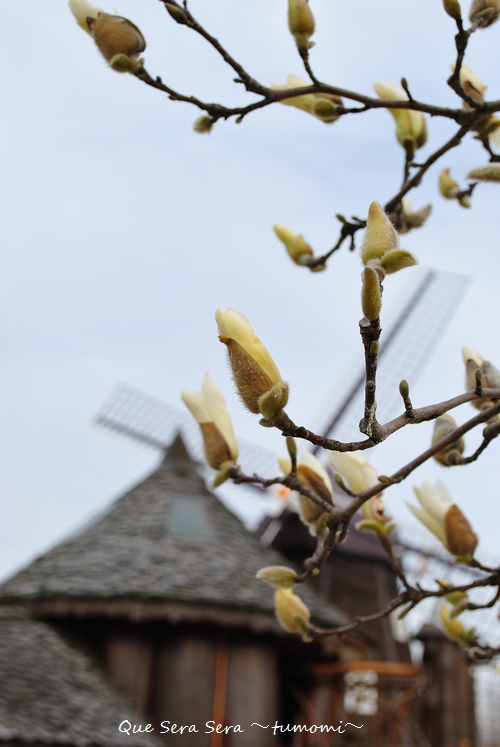 木蓮が咲き出してます!