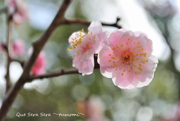 梅の花 キラリン♪