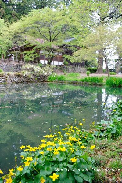池とリュウキンカ