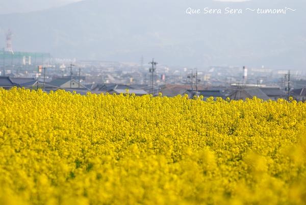 町と菜の花