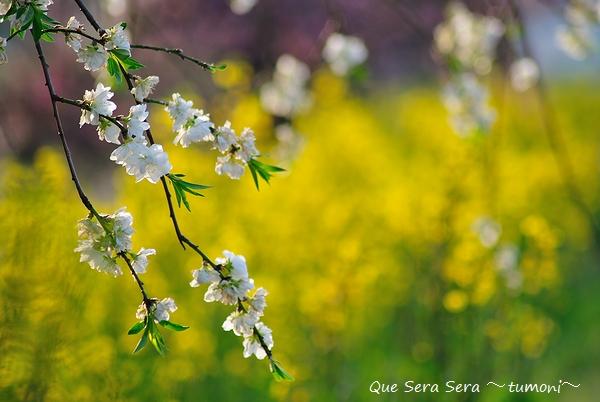 シダレモモと菜の花