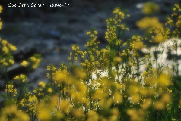 川岸の菜の花